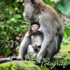Monkeys of Indonesia